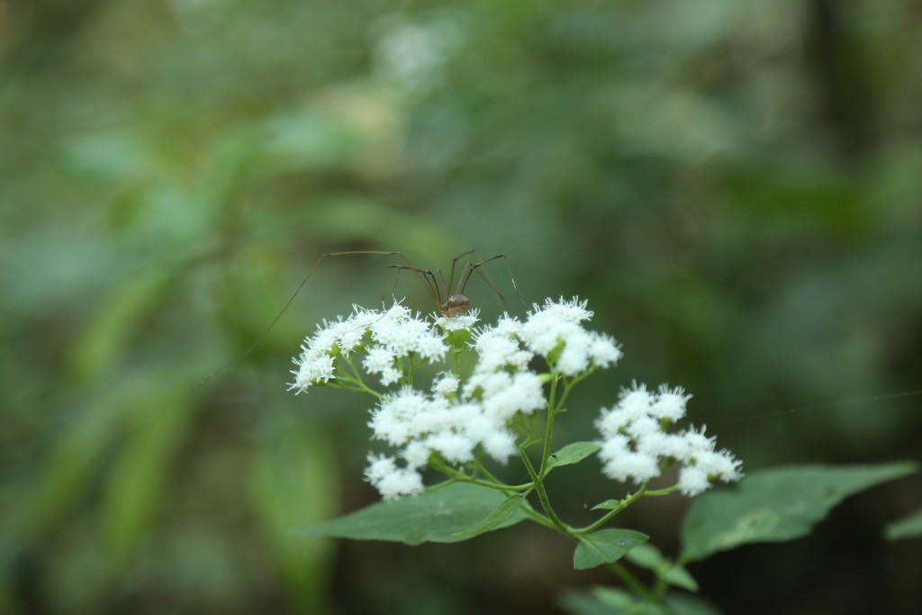 2016 BB 33 Harvestman spider on flowers